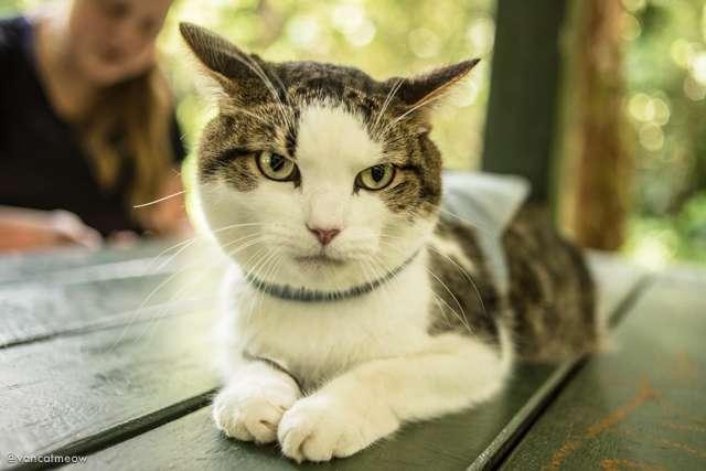 d8b24256db0cba Meet Pistachio the Lazy Adventure Cat - Van Cat Meow